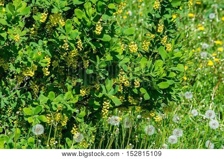 Flowers Barberry, A Thorny Shrub That Bears Yellow Flowers And Red Or Blue-black Berries.