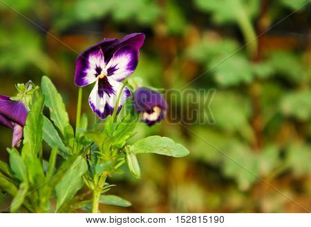 Pansy Flowers. A Popular Cultivated Viola With Flowers In Rich Colors, With Both Summer- And Winter-