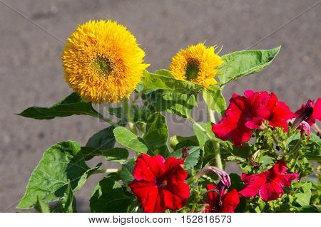Sunflower. A Tall North American Plant Of The Daisy Family, With Very Large Golden-rayed Flowers. Su