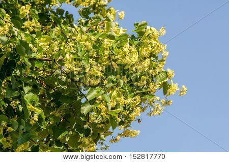 Linden Flowers. Soft Focus. Blossoming Linden Branch In June Day.  A Deciduous Tree With Heart-shape