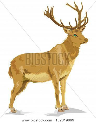 Illustration of deer standing on the white background. Vector cartoon image.