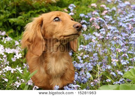 Dachshund puppy surrounded by flowers.