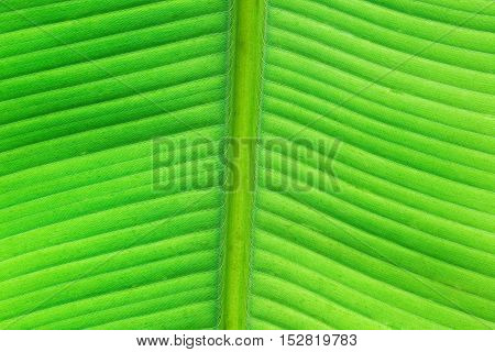 Light-flooded green banana leaf with many details.