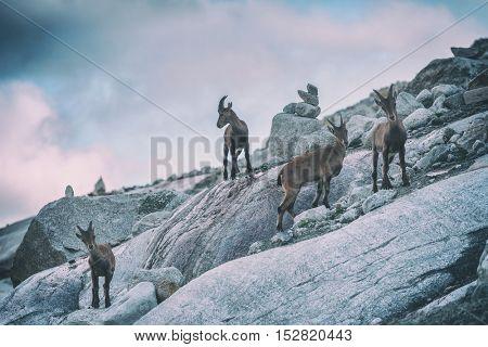 Wild mountain goats in Alps rock, toned like Instagram filter