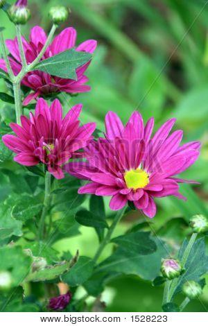 Pink Aster Novi-Belgii