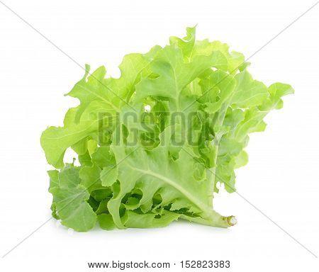 Green oak lettuce isolated on white background