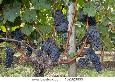Bunches Of Red Wine Grapes Hang From An Old Vine