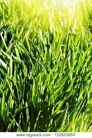 background of a green spring grass and sun rays