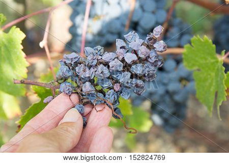 Farmers Hands With Freshly Harvested Blue Grapes.
