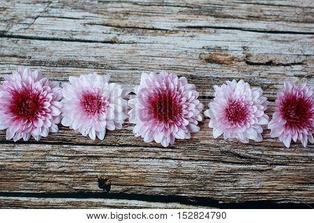 Violet Mum Flowers on Vintage Texture Wooden Table, Background Theme.
