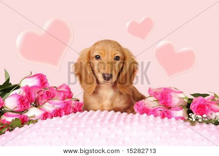 Dachshund puppy surrounded by roses and hearts for Valentine's day.