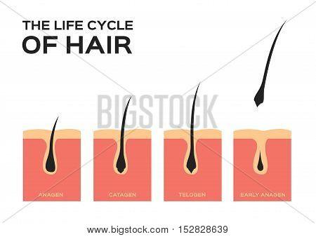 life cycle of hair . hair fall vector