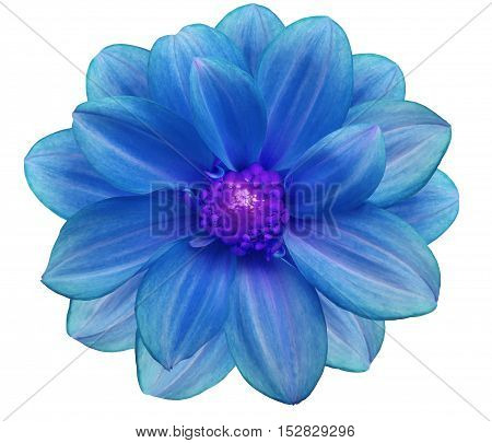 blue flower garden white isolated background with clipping path. Nature. Closeup no shadows. purple center.