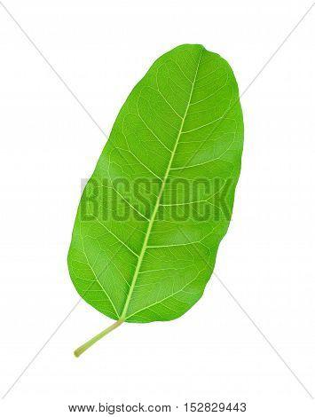 Green leaf Pho leaf (bo leafbothi leaf) isolated on white