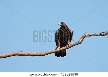 Golden eagle sitting on a branch with blue skies in the background