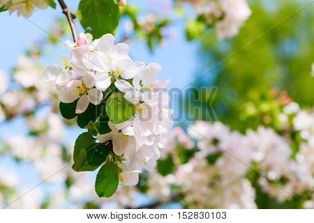 Branch with white blooming apple flowers on the background of the clear blue sky