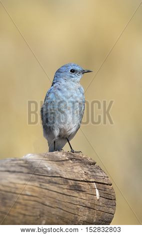 Male mountain bluebird sitting on a large log