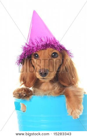 Dachshund wearing a party hat.