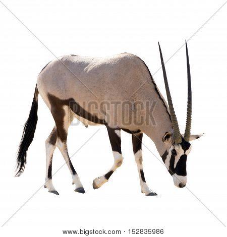 Oryx Gazella (gemsbok) Searching Food Isolated