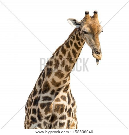 African giraffe head and neck isolated on white background