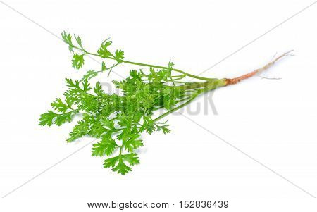 fresh coriander isolated on the white background