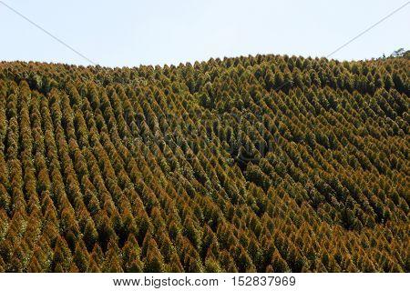 Aerial view of Brazilian Pine