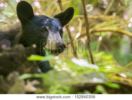 Black Bear Eating Leaves in thick forest