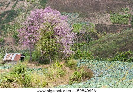 Cherry Blossom Thai's Sakura at Phu Tabberk Phetchabun Thailand