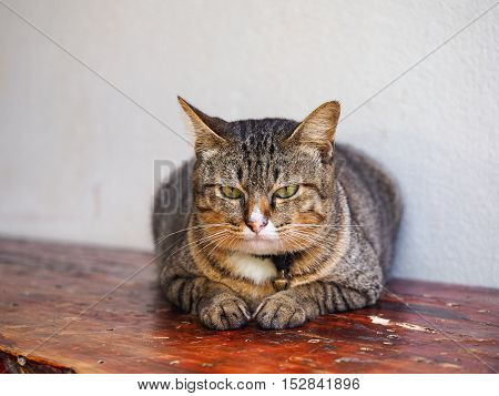The cute cat lying on the table.