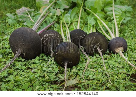 Black radish reaches maturity in October. Valuable root vegetables