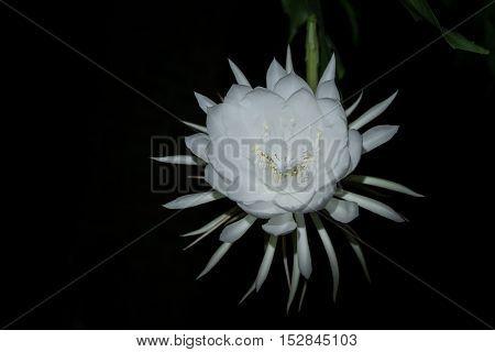 Pitaya Or Dragon Fruit Flower Blooming At Night.