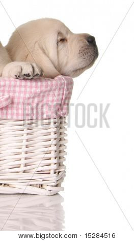 Sleeping labrador puppy in a pink basket.