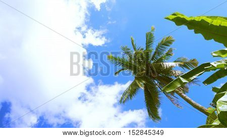 Sunshine had Shining in the blue sky have background cloud and coconut banana plant The leaves are not too blurred to be beautiful at Sukhothai province in Thailand Asia.