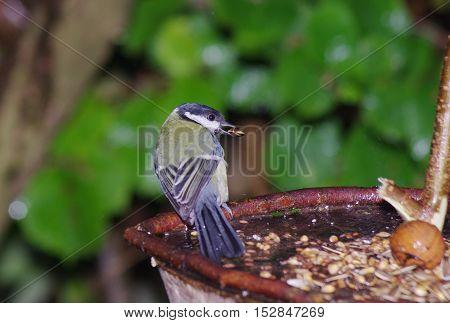 bird tit on tree background Paridae Passeriformes