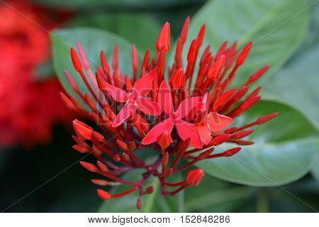 Closeup of red blooming ixora on tree