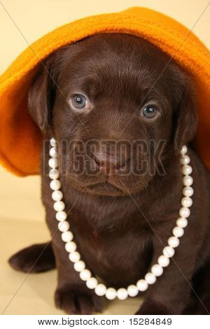 Chocolate lab puppy dressed up in pearls and hat.