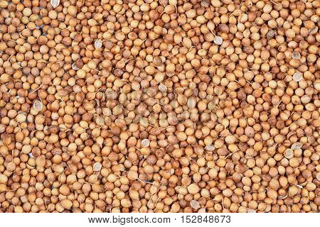 close up of coriander seed for background