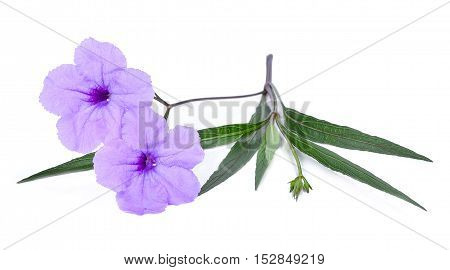 purple flower isolated on a white background