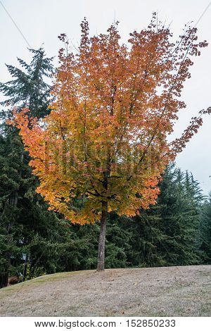 Golden fall colors are on display on this tree in Burien Washington.