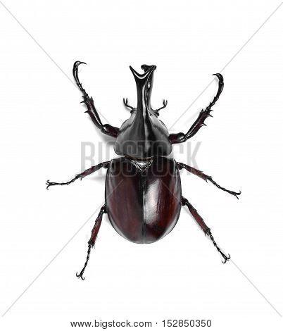 Male Rhinoceros beetle Hercules beetle Unicorn beetle Horn beetle isolated on white