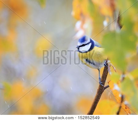 bird chickadee peeks out from behind the bright leaves of the birch in the autumn in the Park
