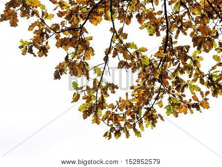 the branches of the oak with yellow and brown leaves in the autumn Park on an white background