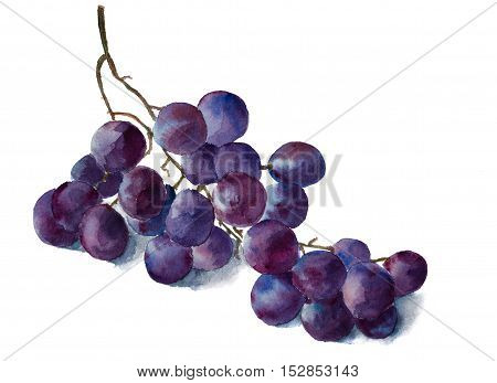 Hand painted watercolor grape brunch. Isolated on white