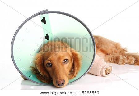 Sick dog wearing a funnel collar for an injured leg.