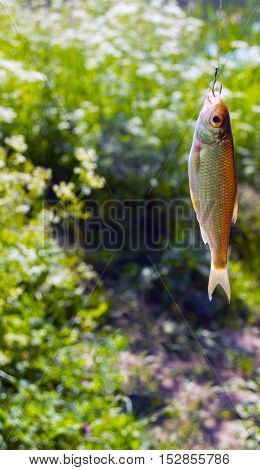 A small fish caught on a hook on a background of green grass