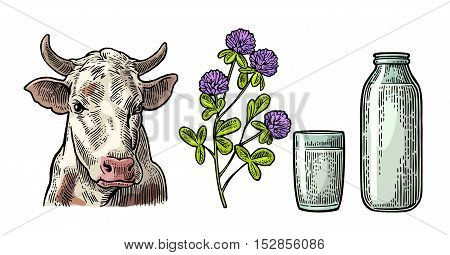Set Milk farm. Cow head clover glass and bottle. Vector engraving vintage color illustration. Isolated on white background.