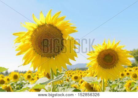 Closeup of Sunflowers against a blue sky