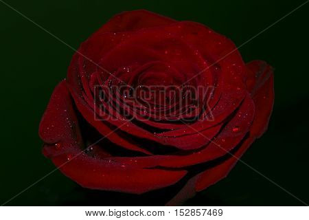 Waters drops on a red roses petals.