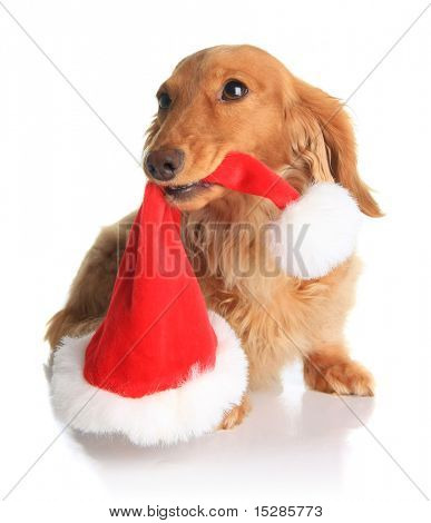 Naughty dachshund dog chewing on Santa's hat.