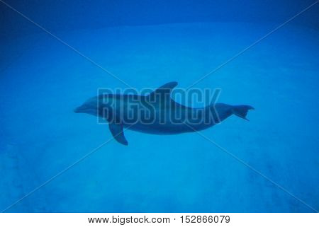 Dolphin in the deep blue water swimming along.